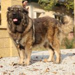 Bela-pedigree-dog caucasian-shepherd-female-
